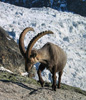 Ibex in front of Ried glacier