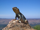 Lizard on the summit, Flinders Ranges